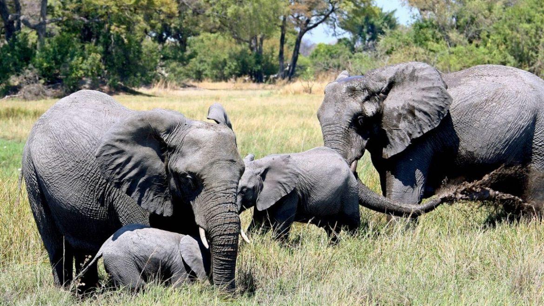 U Zimbabveu pronadjeno još 12 uginulih slonova, sumnja se na bakteriju