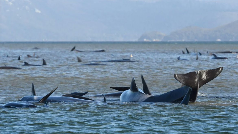 Spaseno samo 50 nasukanih  kitova u Australiji