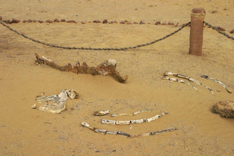U Egiptu otkriven fosil nove vrste kita s četiri noge